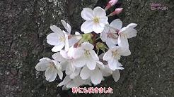 b18011s_saikounosakura